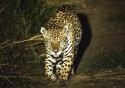 Cutucando a onça: Os ataques do animal na região do Pantanal