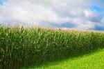 Brasil e dá-lhe milho