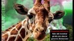 A girafa do Amazonas versus Bolsonaro