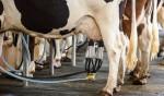 O destino incerto de uma Vaca Leiteira, que alimenta há muitos anos a criminalidade esquerdista