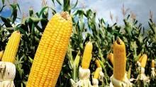 Micro no tamanho, macro no problema: 3 mm que podem comprometer até 60% da produção de milho