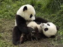 Urso panda da Amazônia ameaçado de extinção pelas queimadas