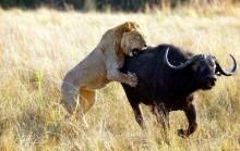 """Por que o búfalo não é o """"rei da selva""""? Na política não é diferente..."""
