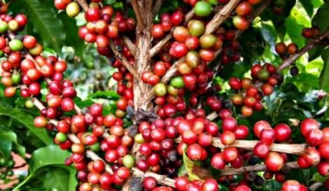 Clima reduz produtividade do café em Minas Gerais