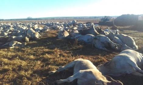 Causa ainda não identificada provoca matança de mais de mil cabeças de gado em MS
