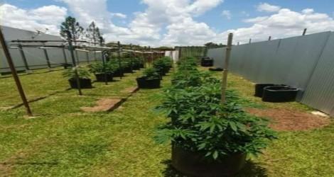 Delegado e sua família são presos em flagrantes com uma grande plantação de maconha em casa