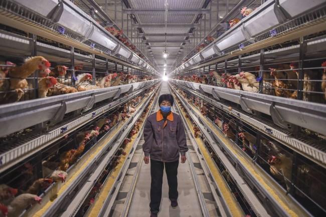 Trabalhador em uma granja em Shenzhou